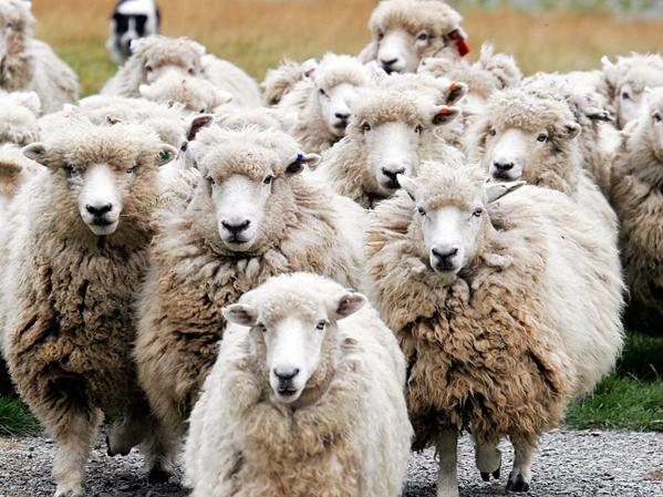 sheep2s